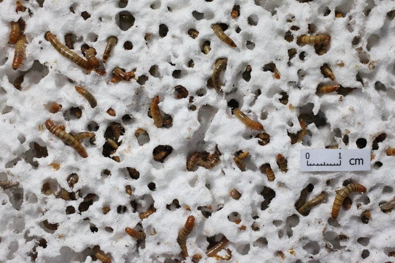 Mealworms eating Styrofoam