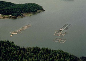 how salmon aquaculture has contributed to the decline of wild fish throughout the world Aquaculture development trends in europe laszlo with the shortfall in supplies of captured fish, aquaculture has benefited from the increased this can be compared to the expenditure made by the norwegian aquaculture sector in promoting salmon throughout europe these.