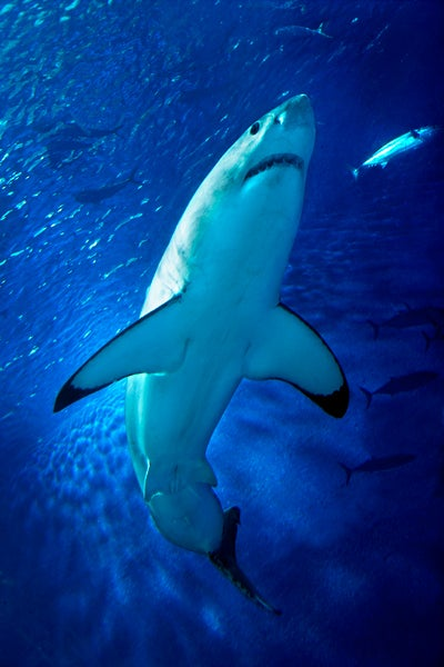Stanford researchers reveal great white sharks' fuel for ...
